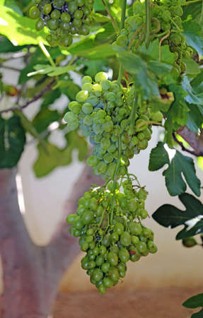 wei�e trauben: big bunches of ripe white grapes on vineyard in autumn