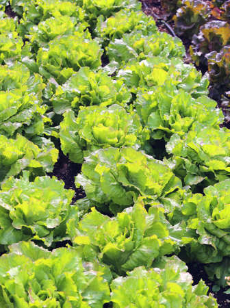 agri: Green Salad and a chicory heads in large vegetable garden Stock Photo