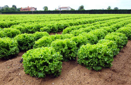 agri: head of lettuce in the vast agricultural plains field in summer