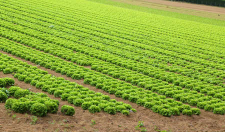 the po valley: Agriculture: huge field of green lettuce in summer