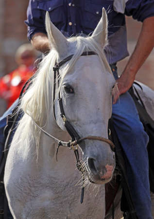 foretop: white horse with long horsehair Stock Photo