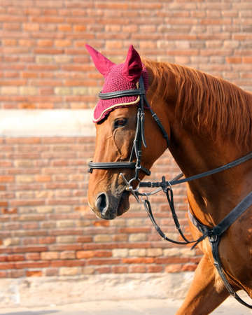foretop: brown horse with purple cap on the mane Stock Photo