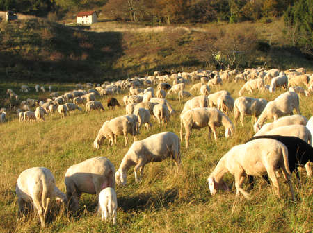domestication: flock with numerous sheep grazing in a meadow in the mountains