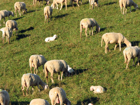 ovine: flock with numerous sheep grazing in a meadow in the mountains
