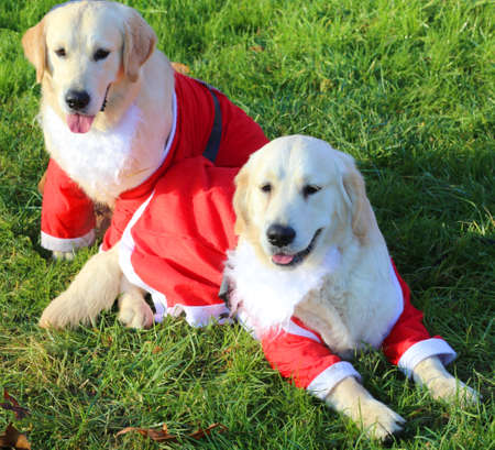 pet therapy: two cute Labrador Retriever with the Santa costume to entertain the children in the pediatric hospital
