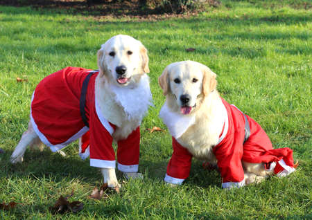 entertain: two cute Labrador Retriever with the Santa suit to entertain the children in the pediatric hospital