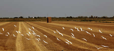 recently: flock of seagull on recently harvested wheat field Stock Photo