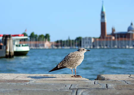 piazza san marco: venice, seagull in Piazza San Marco and the church of St. George in the Venetian lagoon