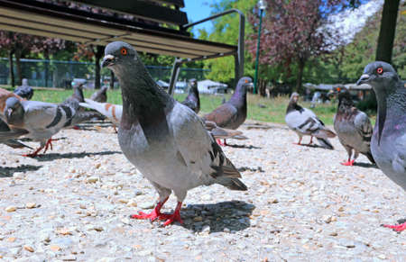 beak pigeon: doves and pigeons eat the bread crumbs in the public park Stock Photo