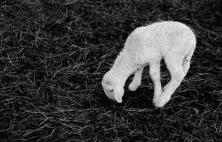yeanling: young white newborn lamb walking with difficulty on the hay