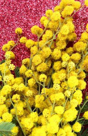 mimose: Mimosas gialli in fiore per il giorno internazionale della donna con lo sfondo rosso scintillio Archivio Fotografico
