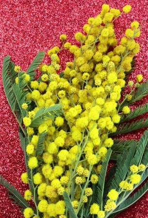 mimose: mucchio di Mimosas gialli in fiore per il giorno internazionale della donna con sfondo rosso glittery