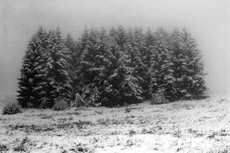 fir mountain submerged by fog and snow in winter