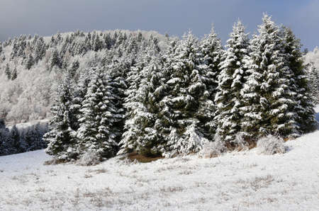 noiseless: mountain landscape with fir pine submerged by snow in winter Stock Photo