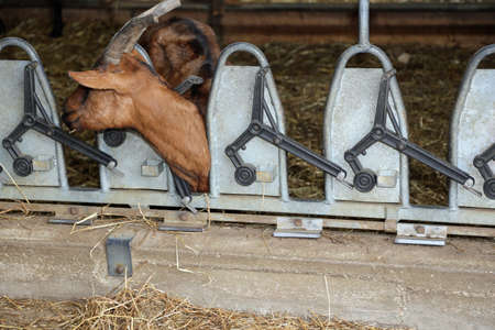 domestication: goat with long horns eat the straw in the automatic manger in the barn of the farm