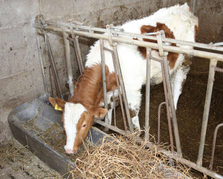 pesebre: calf while eating the straw in the manger in the barn