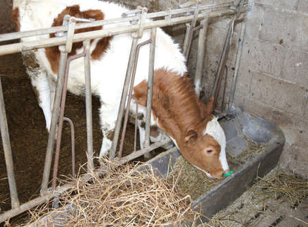 manger: calf while eating the straw in the manger in the barn