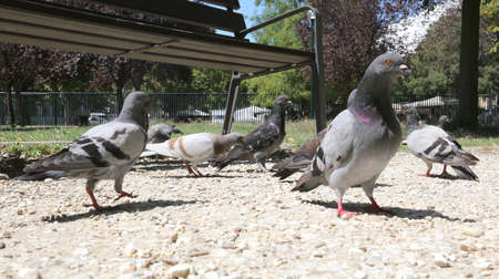 volatile: pigeons eat the bread crumbs in the public park
