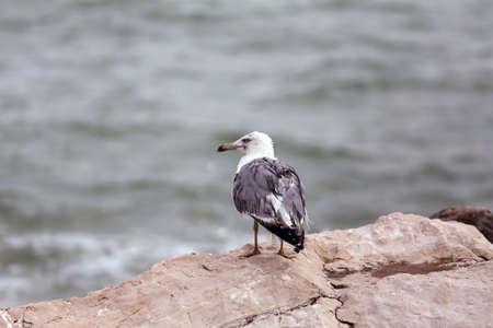 mare agitato: grande gabbiano appollaiato sulle rocce dal mare agitato