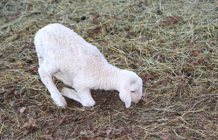 ovine: young newborn lamb walking with difficulty on the hay