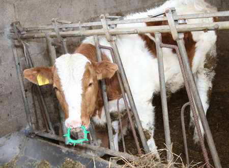 chaff: young calf while eating the straw in the barn