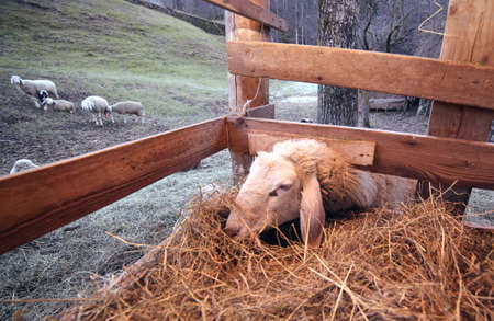 ovine: sheep eat in the manger of the farm in the mountains