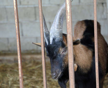 beast ranch: young goat in the barn of the farm of breeding goats for cheese production
