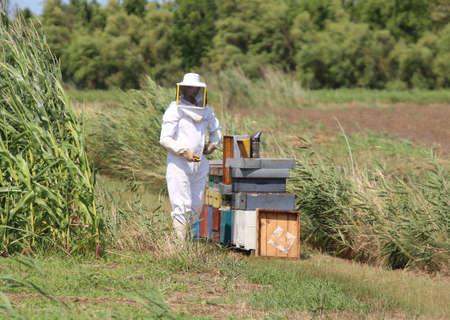 protective suit: expert beekeeper with protective suit during harvesting honey and many hives with bees in summer