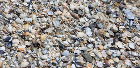 bivalve: Many shells on the shore in the sea in summer Stock Photo