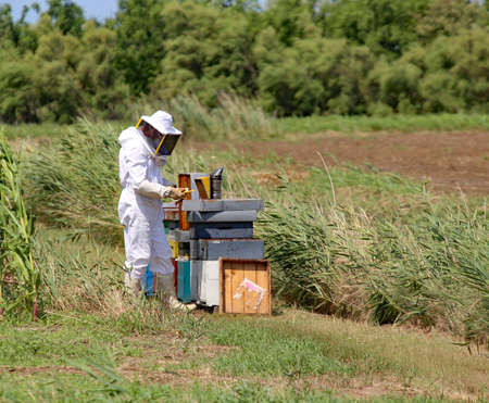 protective suit: beekeeper with protective suit harvesting honey and many hives with bees Stock Photo