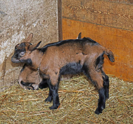 chaff: young goat in the barn of the farm of breeding goats for cheese production