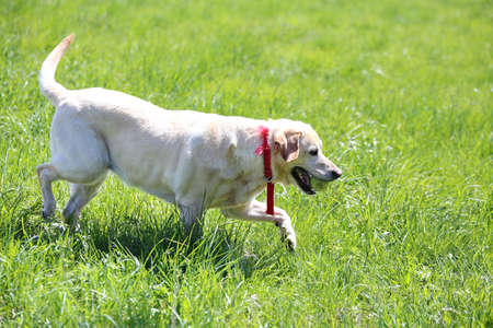 pet therapy: young Labrador Retriever playing with a tennis ball in his mouth
