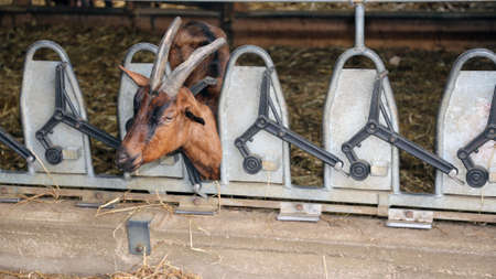 chaff: goat with long horns eat the straw in the automatic manger in the barn of the farm