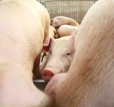 sows: piglet in the sty and other pigs nad sows