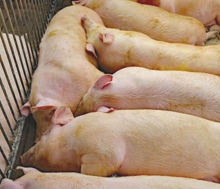 fat pigs: fat asleep pigs sleeping in pig farming