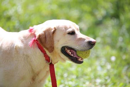 labrador teeth: big dog Labrador Retriever playing with a tennis ball