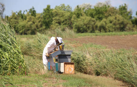 protective: beekeeper with protective suit harvesting honey