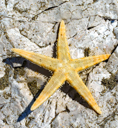 huge starfish with five-segment radial on the rock of the sea in summer Imagens