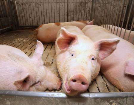 big eyes: big and fat pigs in a sty on a farm