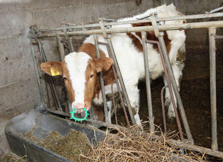 domestication: young calf  in the manger in the barn Stock Photo