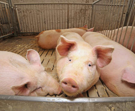 sty: big and fat pigs in a sty on a farm