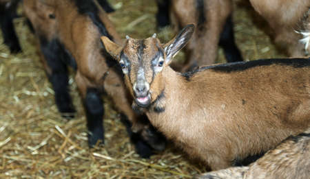 domestication: young lonely kid in the barn of the farm raising goats