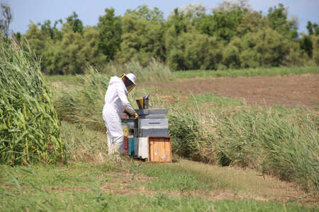 beekeeper with protective suit harvesting honey and many hives with bees in the field Stock Photo