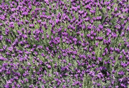 parfum: background of Lavender flowers in the garden