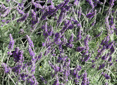 parfum: fragrant Lavender flowers in the field in spring