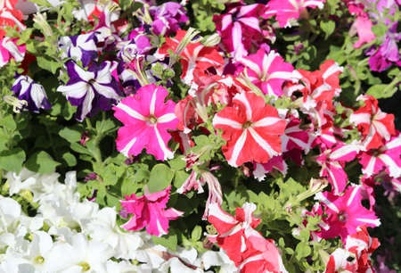 funnel shaped: many red petunia flowers in the market in summer