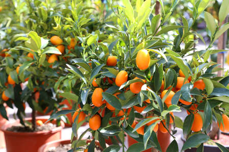 several hanging kumquats on the fruit tree in the Orchard