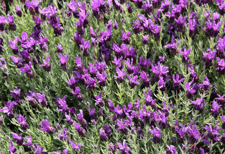 parfum: many blooming Lavender flowers in the field in spring Stock Photo