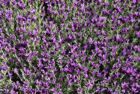 lavanda: blooming Lavender flowers in the garden