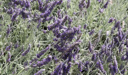 lavanda: many Lavender flowers in the field in spring